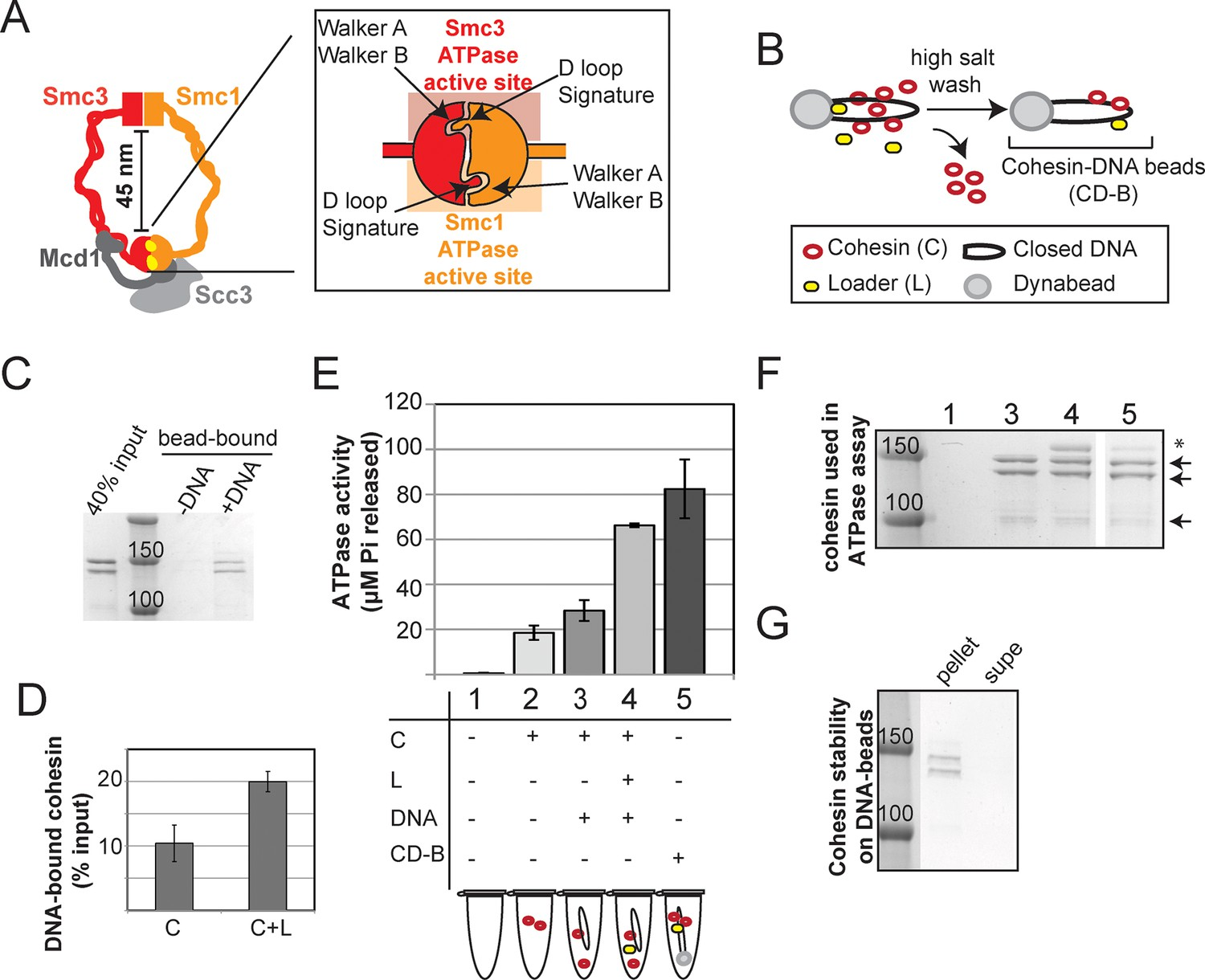 The Atpases Of Cohesin Interface With Regulators To Modulate Four Diagrams A B C And D Representing Stages Stroke Figure 1 4 Supplements Download Asset Open