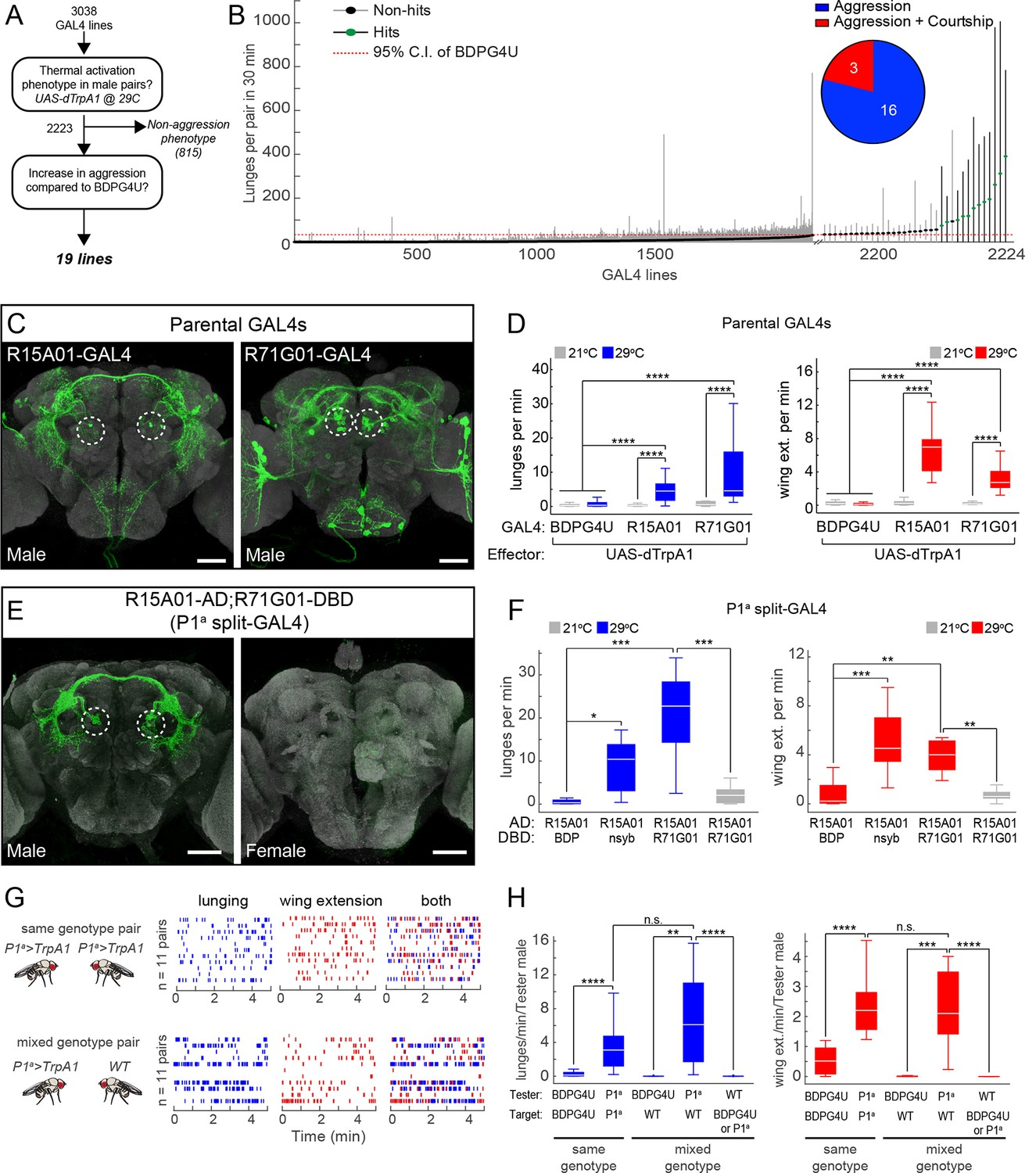 P1 Interneurons Promote A Persistent Internal State That Enhances Chicken Wing Diagram Comparative Anatomy Lab 2 Thermogenetic Activation Of Neurons Promotes Inter Male Aggression And Extension