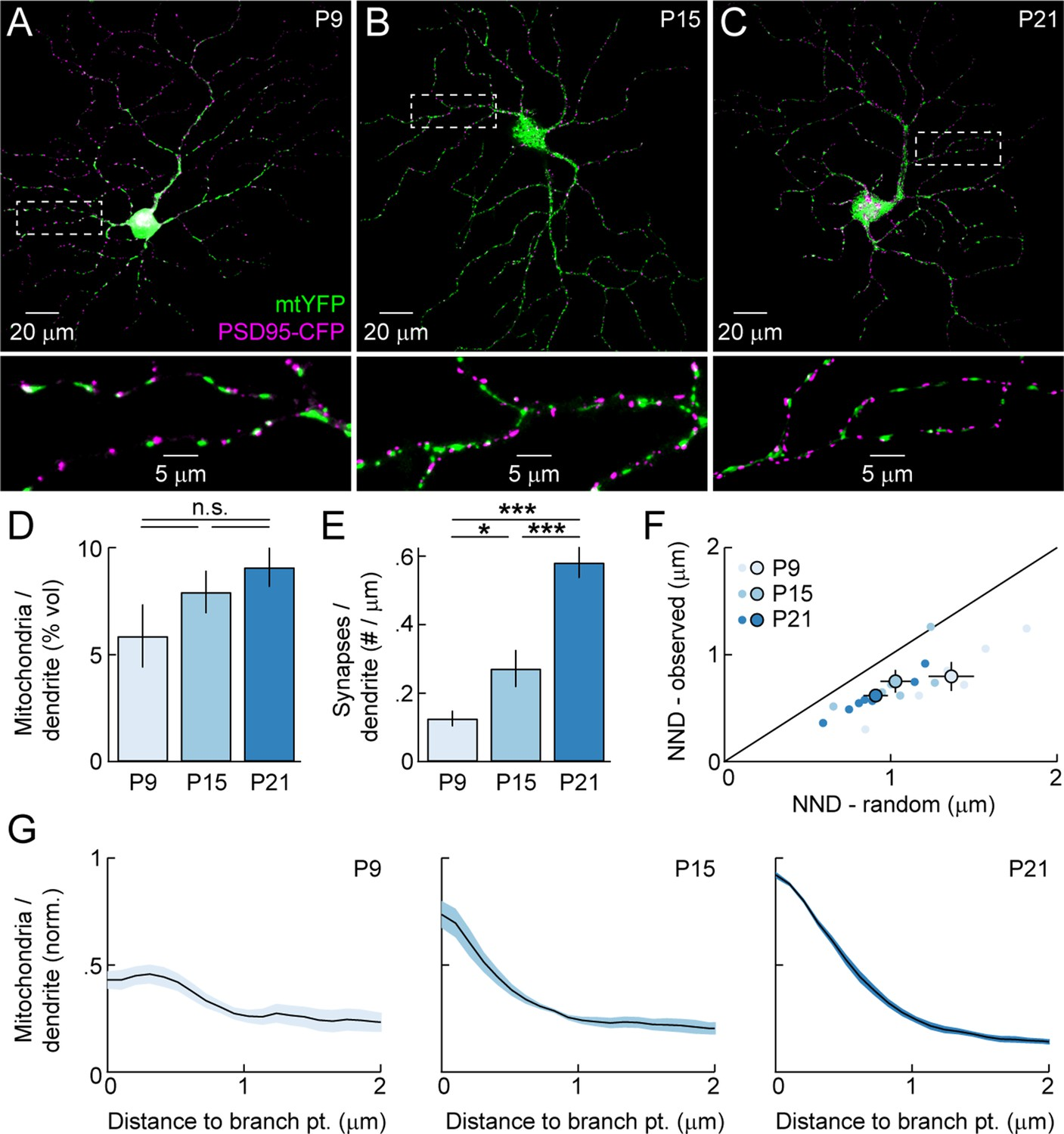 Dendritic Mitochondria Reach Stable Positions During Circuit G Five Mobile Diagram Mitochondrial Distribution In Rgc Dendrites Across Development