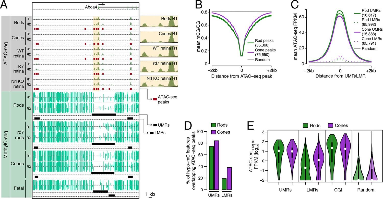 Epigenomic Landscapes Of Retinal Rods And Cones Elife
