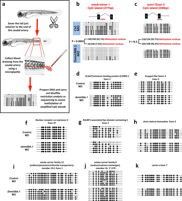 Epigenetic regulation of hematopoiesis by DNA methylation