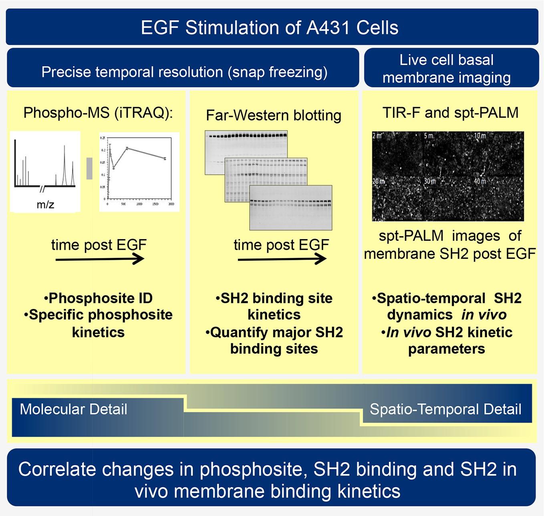 Time-resolved Multimodal Analysis Of Src Homology 2 (SH2