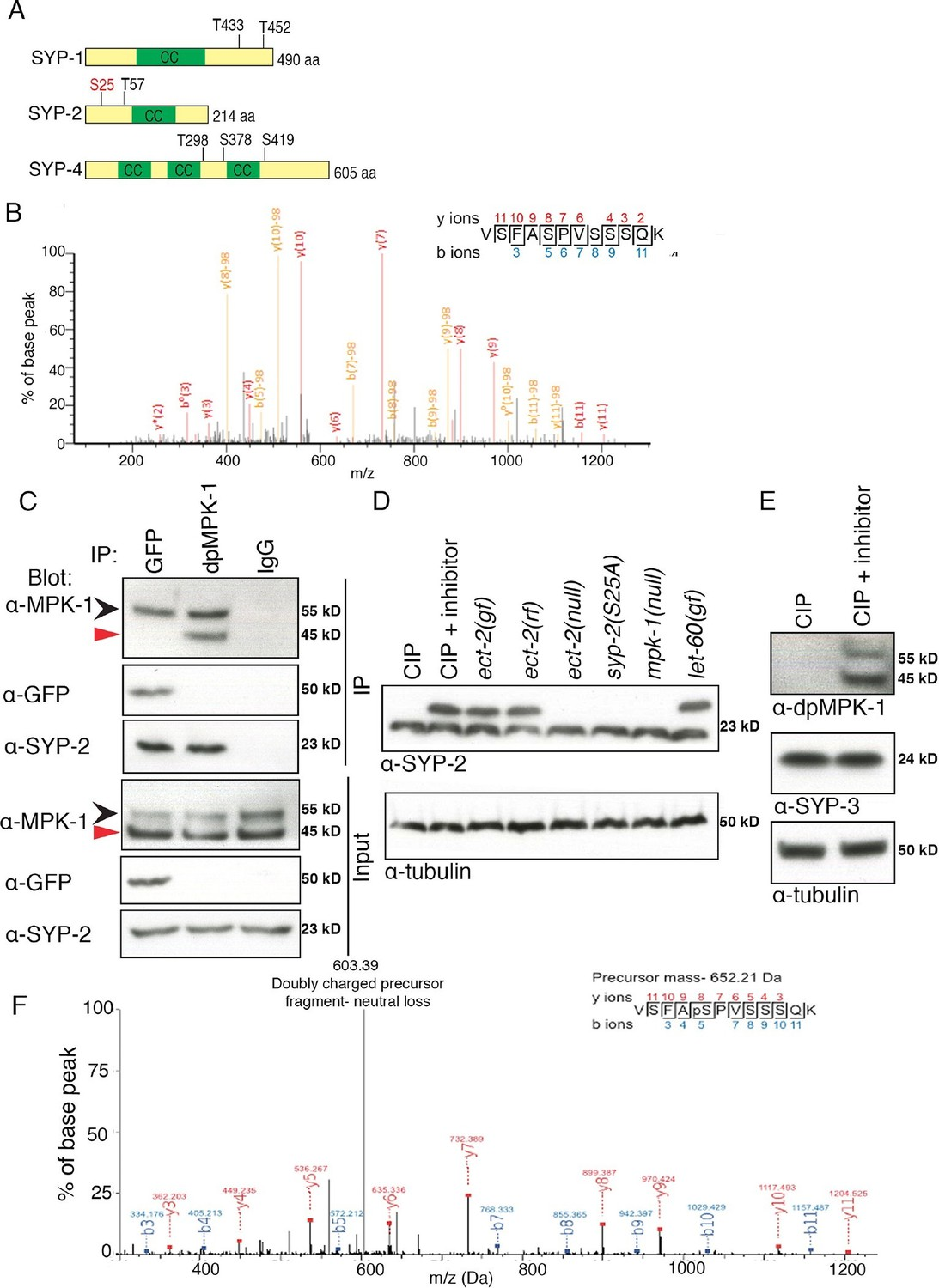 phosphorylation of syp is dependent on the map kinase pathway. the map kinase pathway coordinates crossover designation with