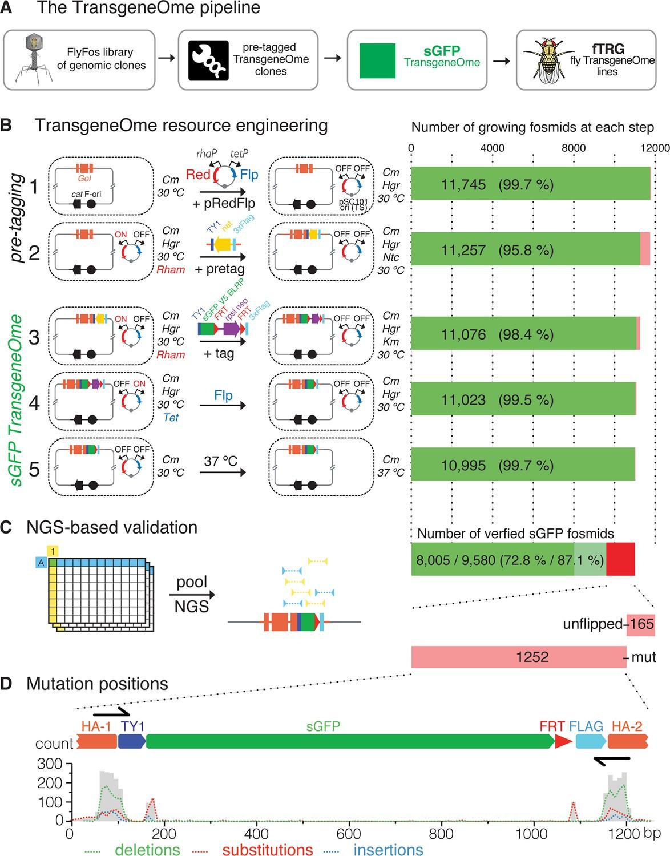 an analysis of drosophila Concept 7: trait analysis orange eyes and white skin practice (2 pages) concept 8: trait analysis horns  genetics of organisms  by breeding fruit flies (drosophila melanogaster) of.