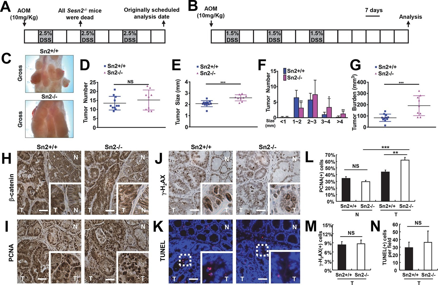 Tumor Suppressive Role Of Sestrin2 During Colitis And Colon Carcinogenesis Elife