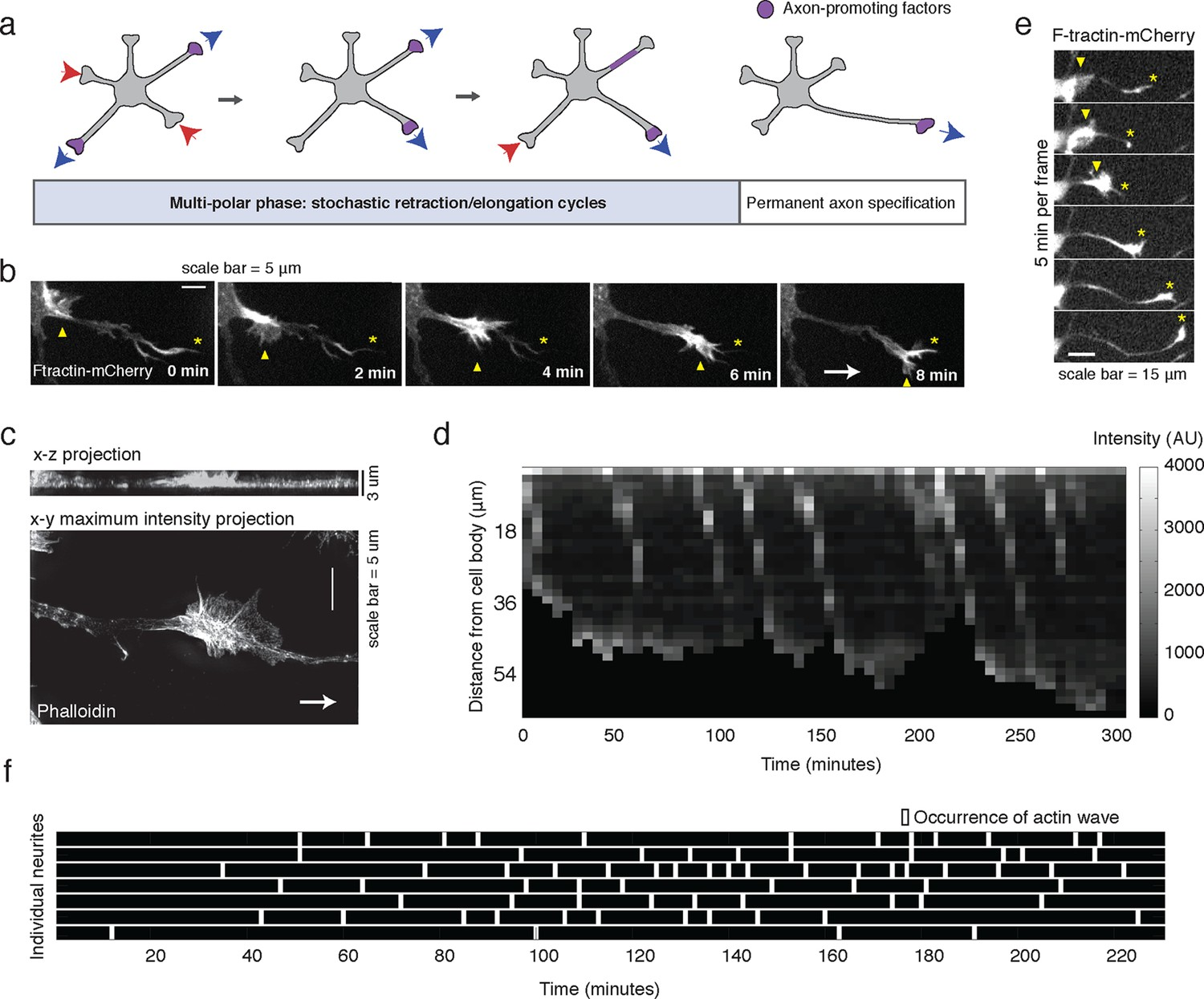 Waves of actin and microtubule polymerization drive microtubule
