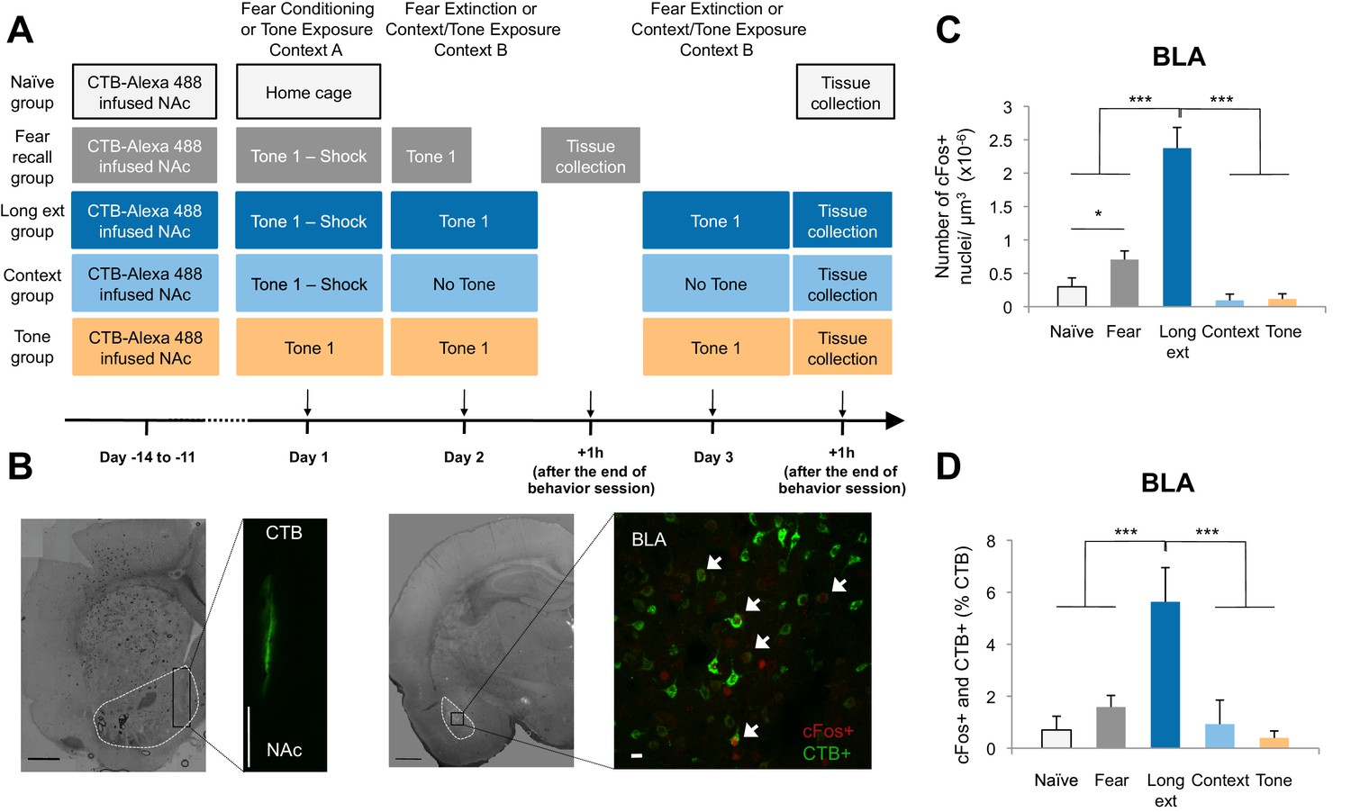 Amygdala Ventral Striatum Circuit Activation Decreases Long Term Between Unilateral Circuits And Bilateral Its Functions The Bla Nac Circuitry Is Recruited During Extinction Of Fear