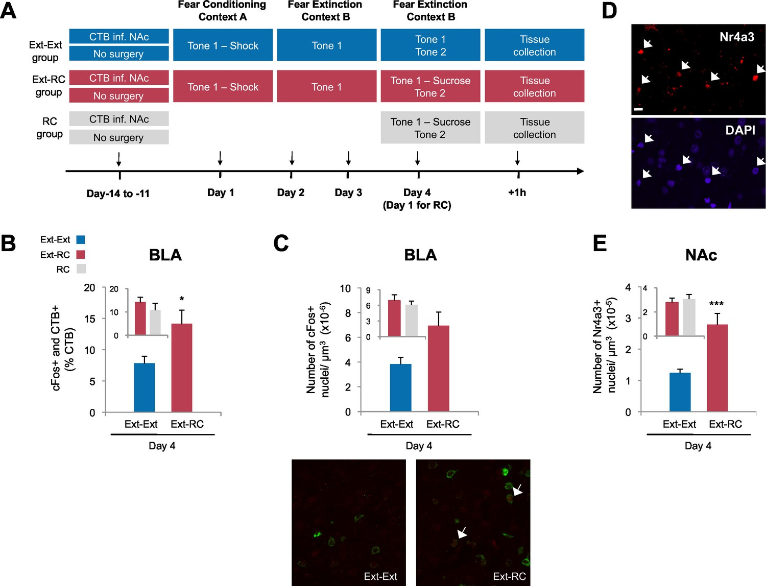 Amygdala Ventral Striatum Circuit Activation Decreases Long Term Measurement Circuits 73 In Threephase Recruitment Of A Bla Nac Is Greater Following Fear Extinction With Reward Conditioning Than Alone