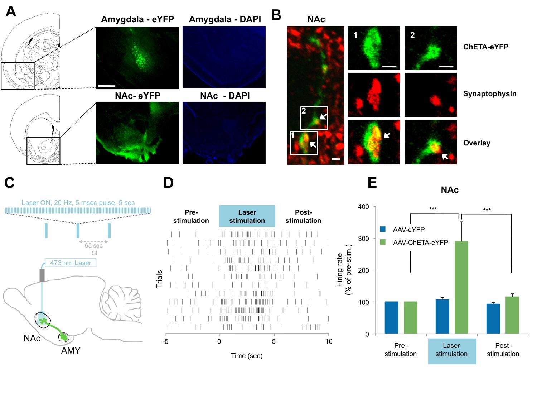 Amygdala-ventral striatum circuit activation decreases long