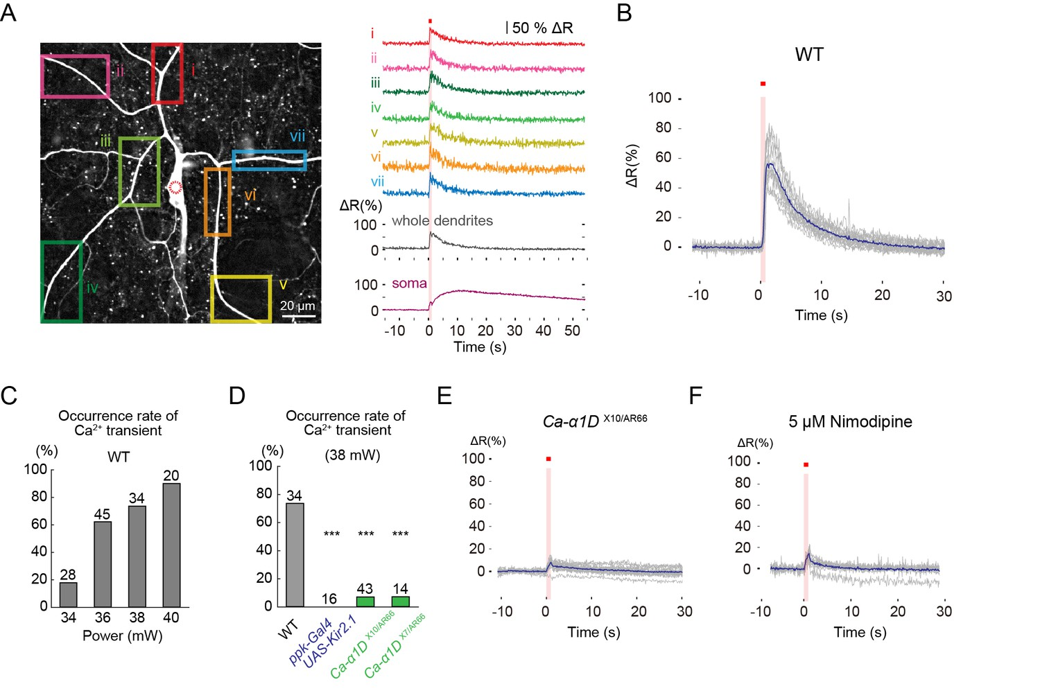 Neuronal Processing Of Noxious Thermal Stimuli Mediated By Dendritic Ultrasonic Generator Circuit Gt 100w 220v L Type Vgcc Dependent Global Ca2 Transients Occur In Class Iv Neurons Upon Stimulation
