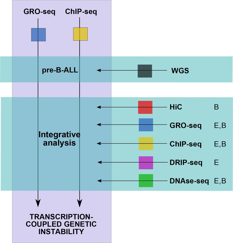 Transcription-coupled genetic instability marks acute lymphoblastic ...