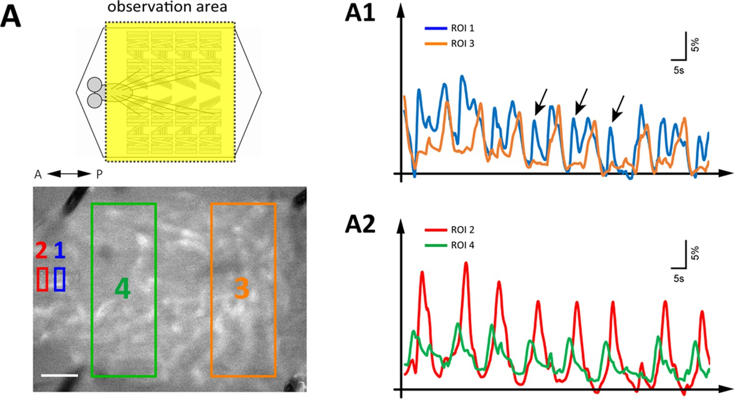 A Circuit Mechanism For The Propagation Of Waves Muscle Simple 555 Timer Circuits Moreover Sequential Light Diagram Simultaneous Imaging Gdls Activity And Peristaltic