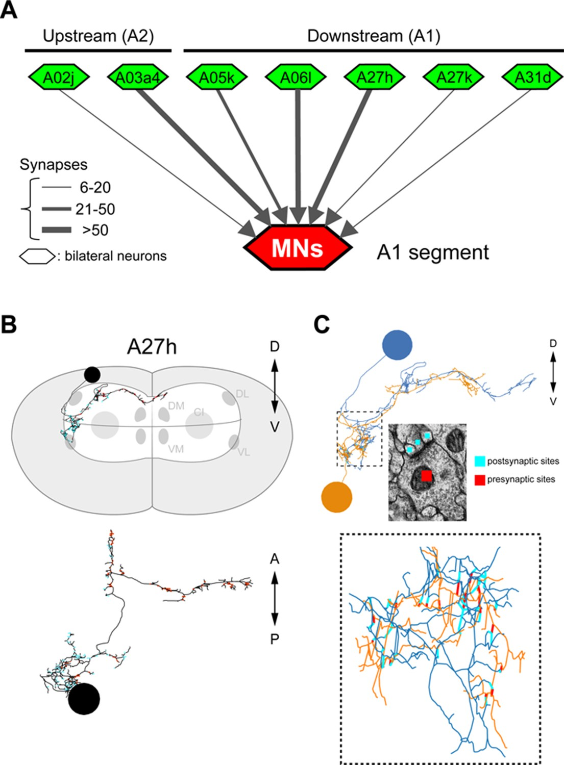 A Circuit Mechanism For The Propagation Of Waves Muscle Electronic Nose Diagram Connectivity Premotor Neurons Related To Figure 5