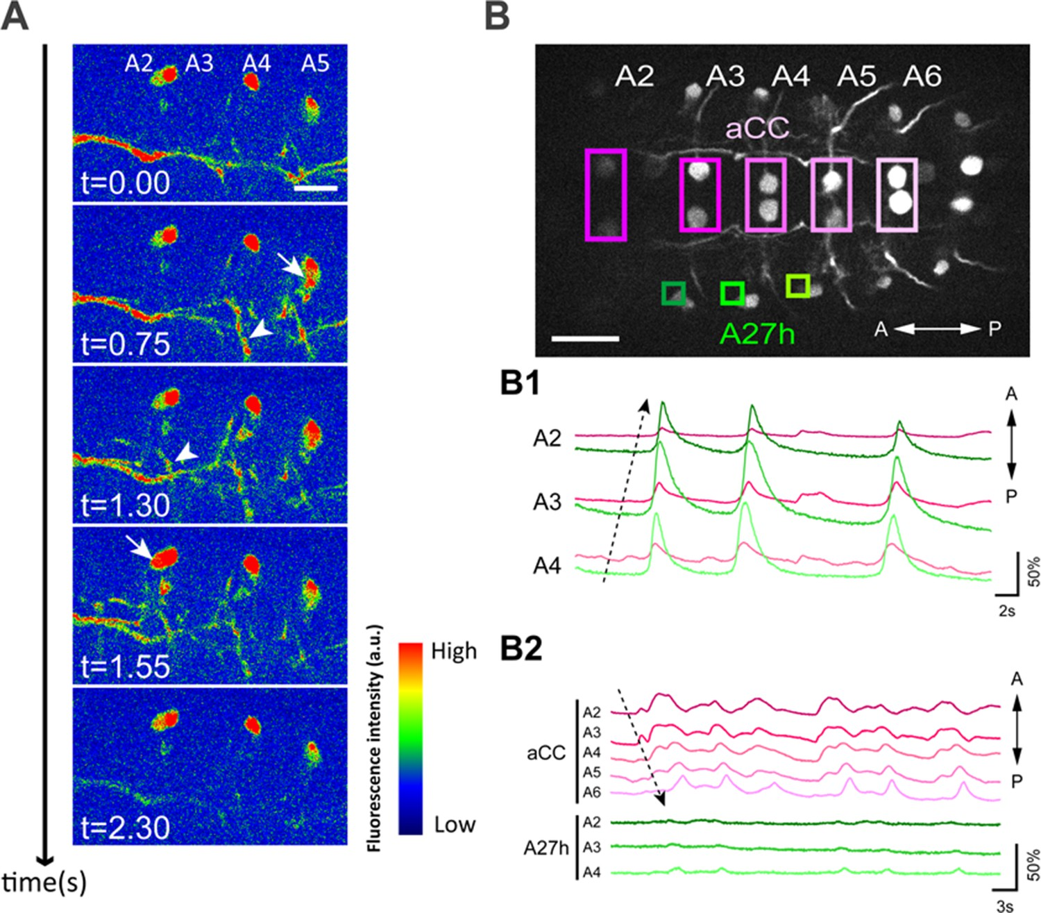 A Circuit Mechanism For The Propagation Of Waves Muscle Simple 555 Timer Circuits Moreover Sequential Light Diagram A27h Participates In Forward Motor Activity