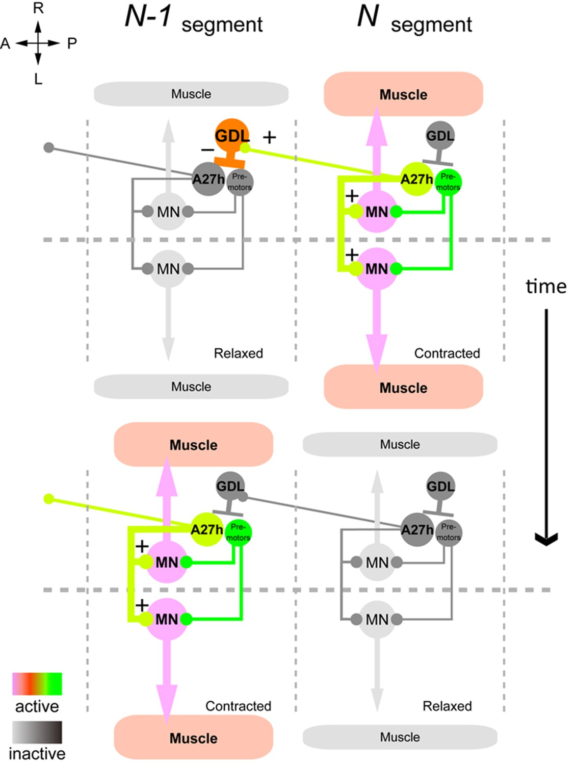 A Circuit Mechanism For The Propagation Of Waves Muscle Electronic Nose Diagram Summary Gdl