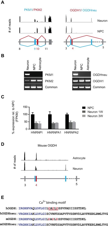 metabolic reprogramming during neuronal differentiation from aerobic on  bendix abs ecu wiring, zenith carburetors diagrams