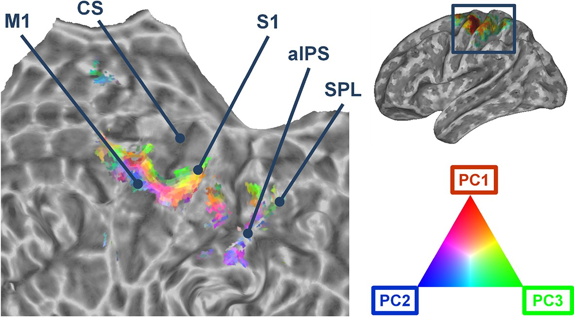 A synergy-based hand control is encoded in human motor