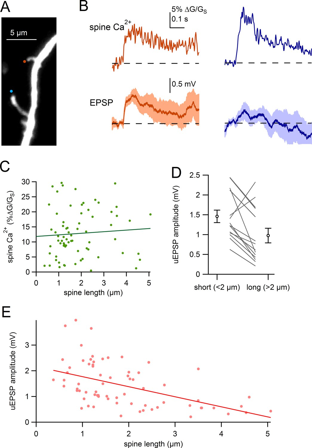 Electrical And Ca2 Signaling In Dendritic Spines Of Substantia Anatomy A Short Circuit Open Comparison Uepsps For Long