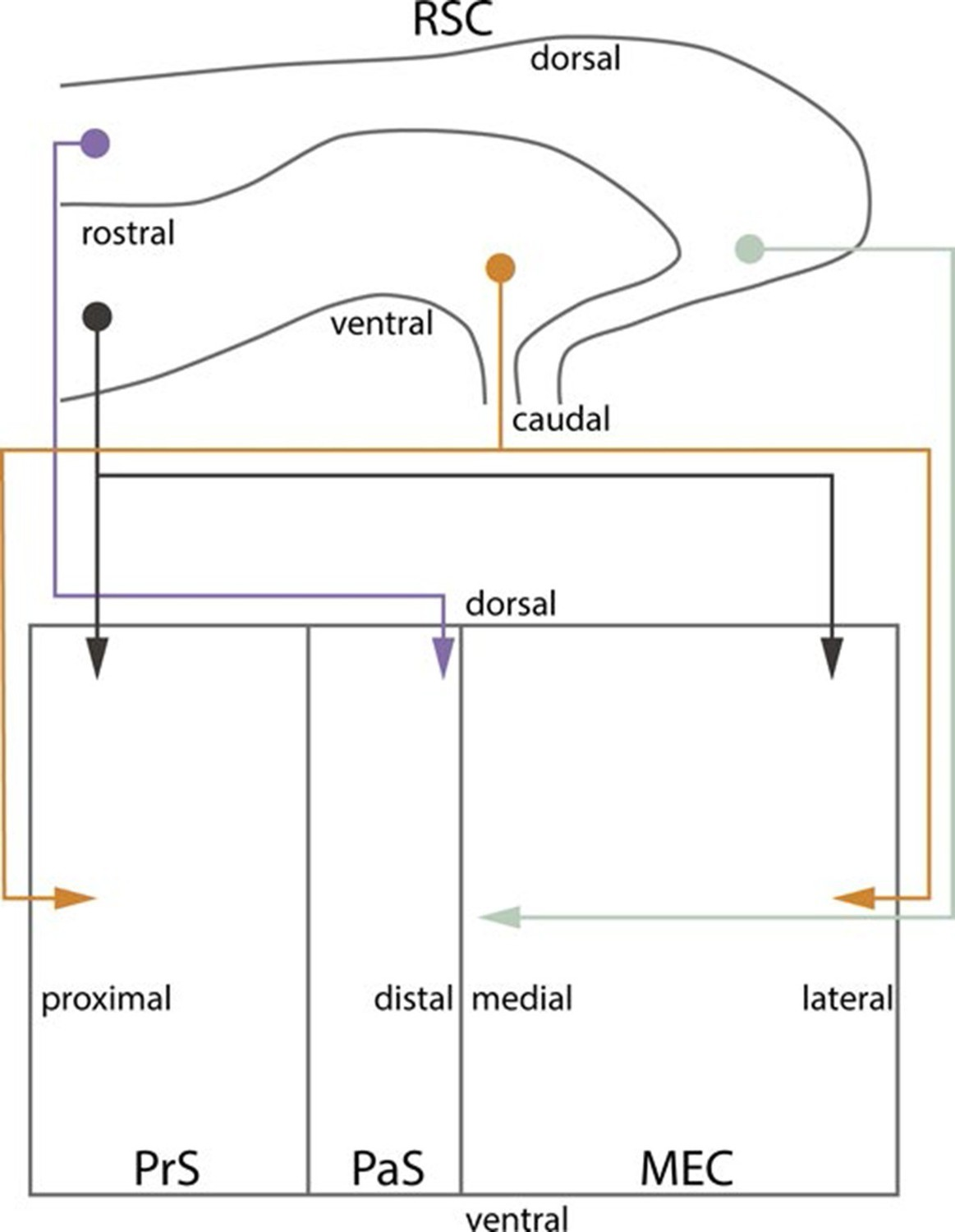 Postnatal Development Of Retrosplenial Projections To The Witter Wiring Diagram Summary Topographical Organization From Rsc Phr In Developing And Adult Brain Schematic Representation