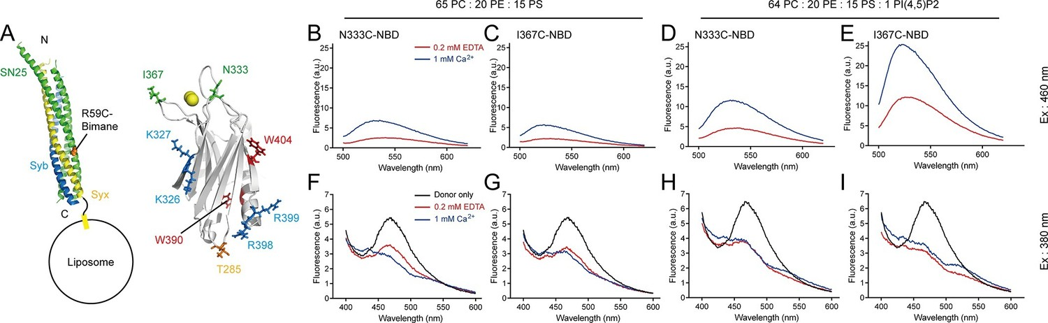 Synaptotagmin 1 C2b Domain Interacts Simultaneously With Snares And