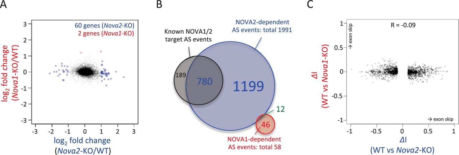 Nova2 Mediated Rna Regulation Is Required For Axonal Pathfinding