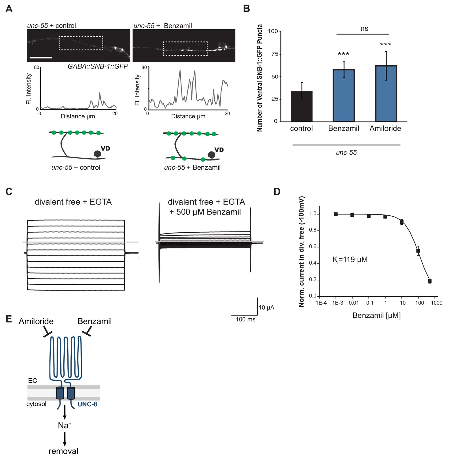 The Deg Enac Cation Channel Protein Unc 8 Drives Activity Dependent Fleming Wiring Diagrams Promotes Removal Of Ventral Synapses In Remodeling Gaba Neurons