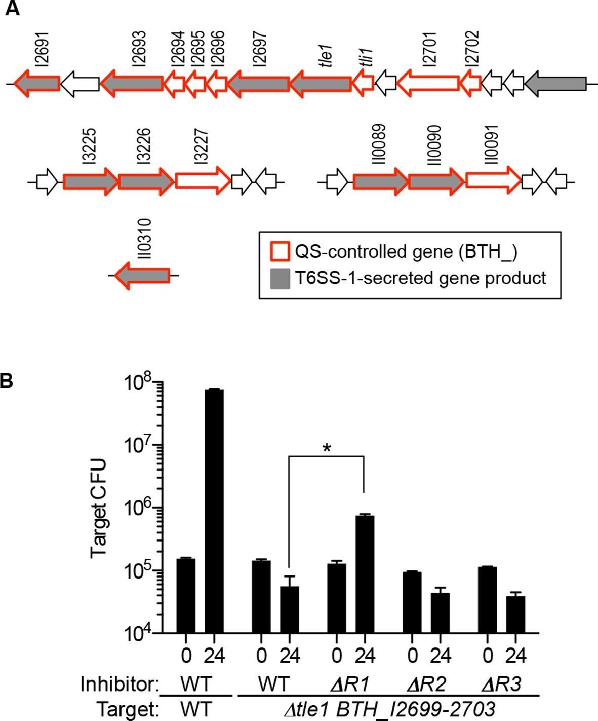 Quorum sensing control of Type VI secretion factors restricts the ...