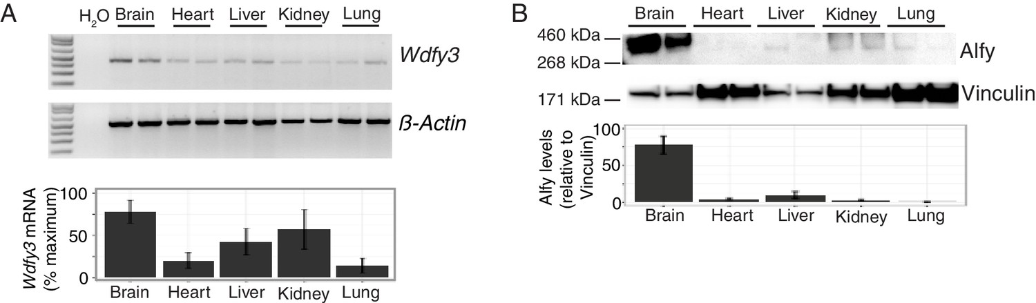 Autophagy linked FYVE (Alfy/WDFY3) is required for establishing