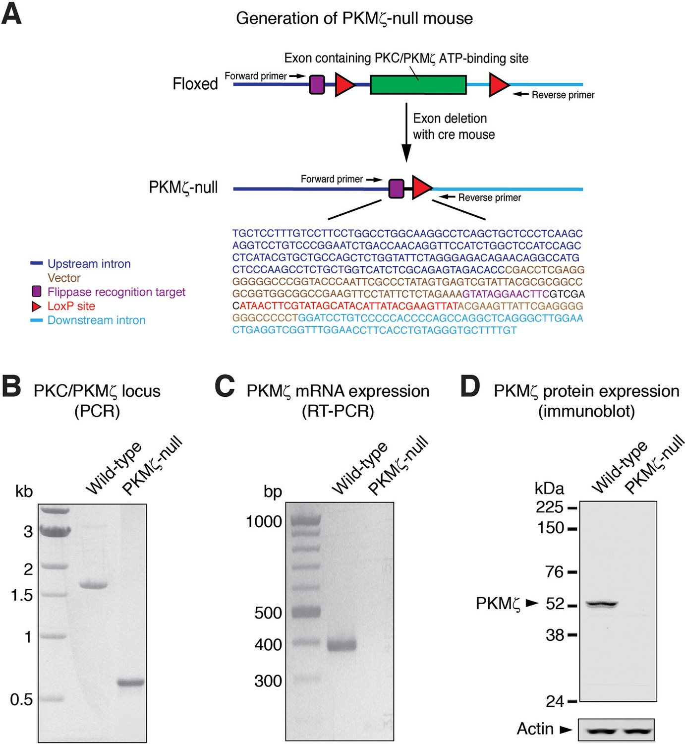 Compensation for PKMζ in long-term potentiation and spatial long
