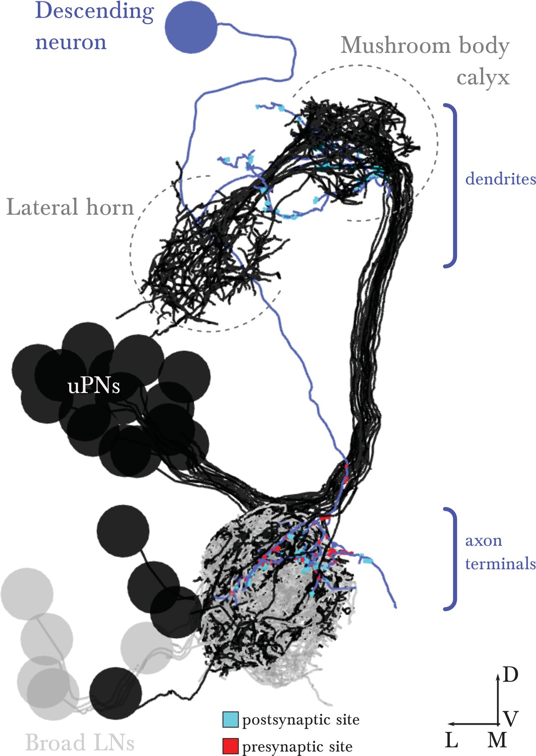 The Wiring Diagram Of A Glomerular Olfactory System Elife Ds 450 Em Reconstructed Arbor Descending Neuron