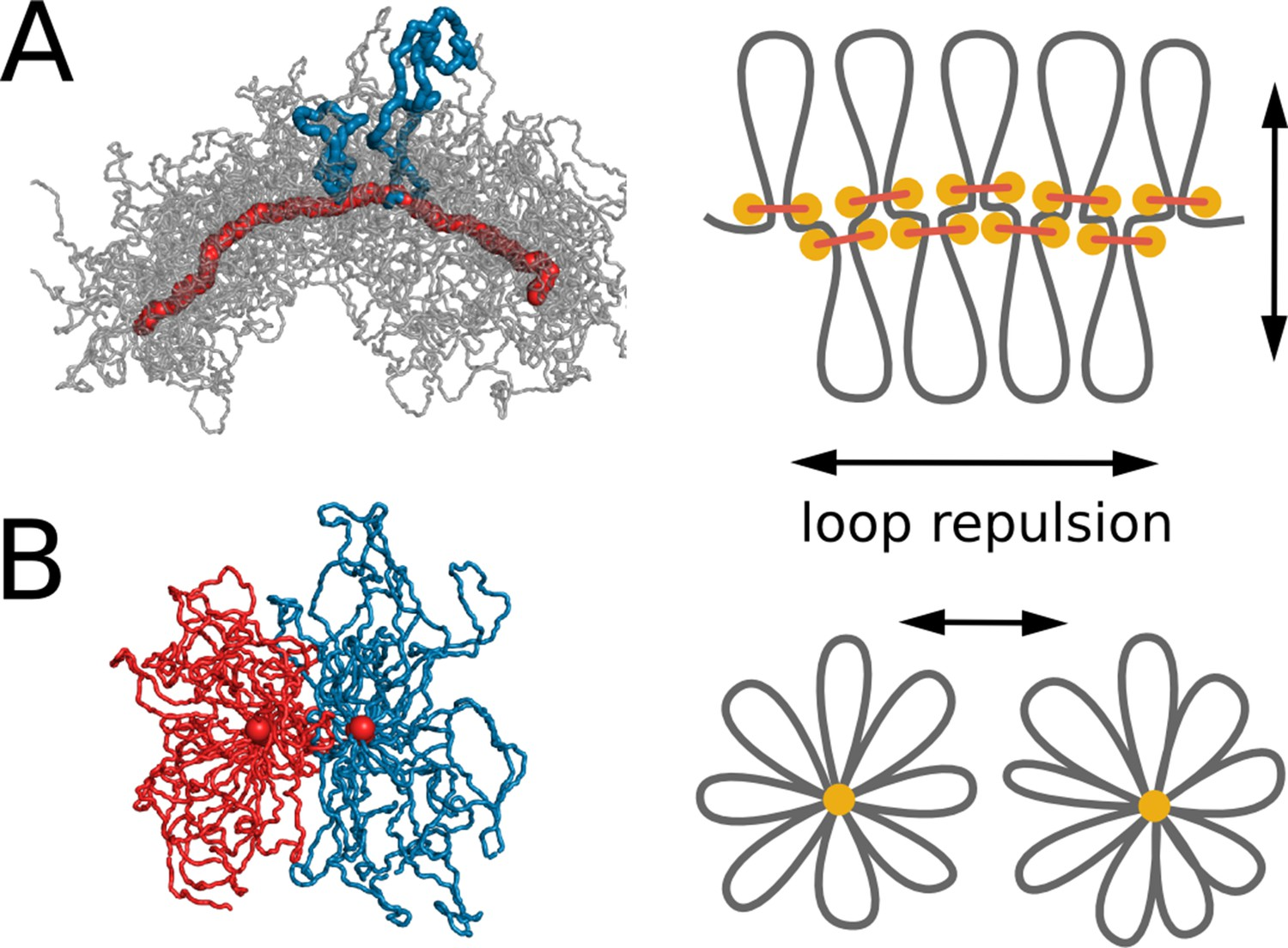 Compaction and segregation of sister chromatids via active loop extrusion   eLife