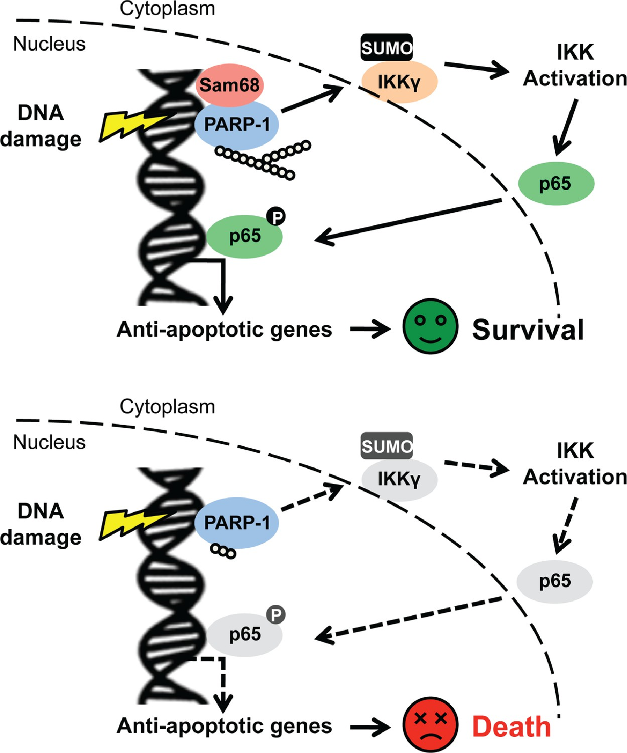 Sam68 Khdrbs1 Is Critical For Colon Tumorigenesis By Regulating Romans 8 Block Diagram Schematic Model Representation Of Functioning As An Early Signaling Molecule In Genotoxic Stress Initiated Nf B Pathway