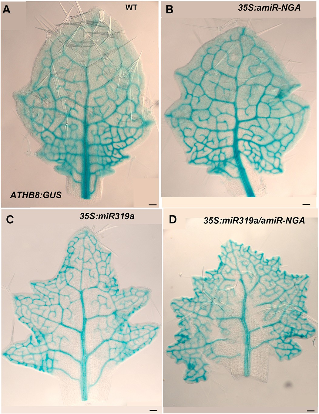 Figures And Data In Active Suppression Of A Leaf Meristem With Palisade Mesophyll Cell Diagram Likewise Plant Athb8gus Expression Leaves Reduced Cin Tcps Ngatha Gene Activities