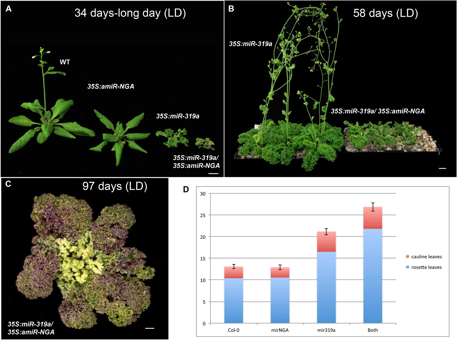 Figures And Data In Active Suppression Of A Leaf Meristem With Palisade Mesophyll Cell Diagram Likewise Plant Growth Flowering Time Plants Reduced Cin Tcp Ngatha Gene Activities