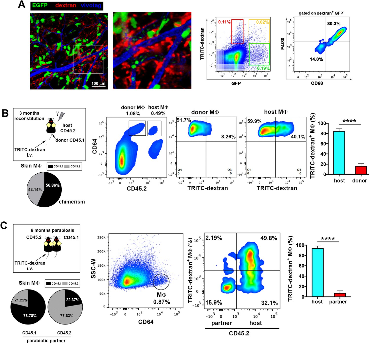 Pivotal role for skin transendothelial radio resistant anti endothelium protruding macrophages are radio resistant macrophages independent of bm supply mitanshu Gallery
