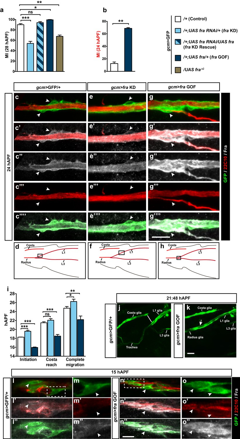 The Glide/Gcm fate determinant controls initiation of