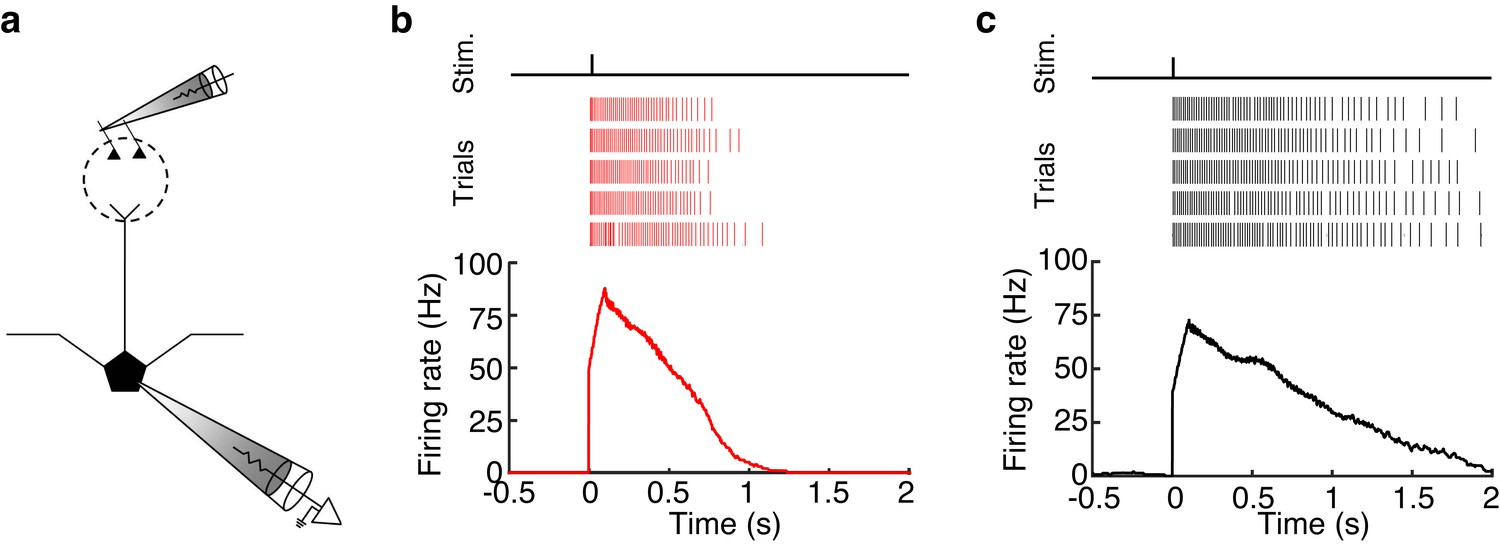 Distinct Lateral Inhibitory Circuits Drive Parallel Processing Of This Is Not So For A Circuit Bulbs Can Continually Be Added Mcs And Tcs Sustain High Firing Rates 50 Hz Long Periods 500 Ms Following Glomerular Stimulation