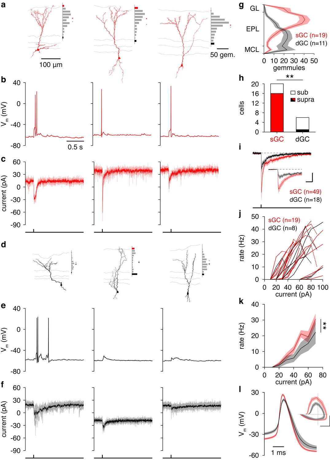 Distinct Lateral Inhibitory Circuits Drive Parallel Processing Of Drawing A Simple Circuit With Bulb Cell And The Switch Synaptic Intrinsic Differences Regulate Sgc Vs Dgc Recruitment Following Glomerular Activation
