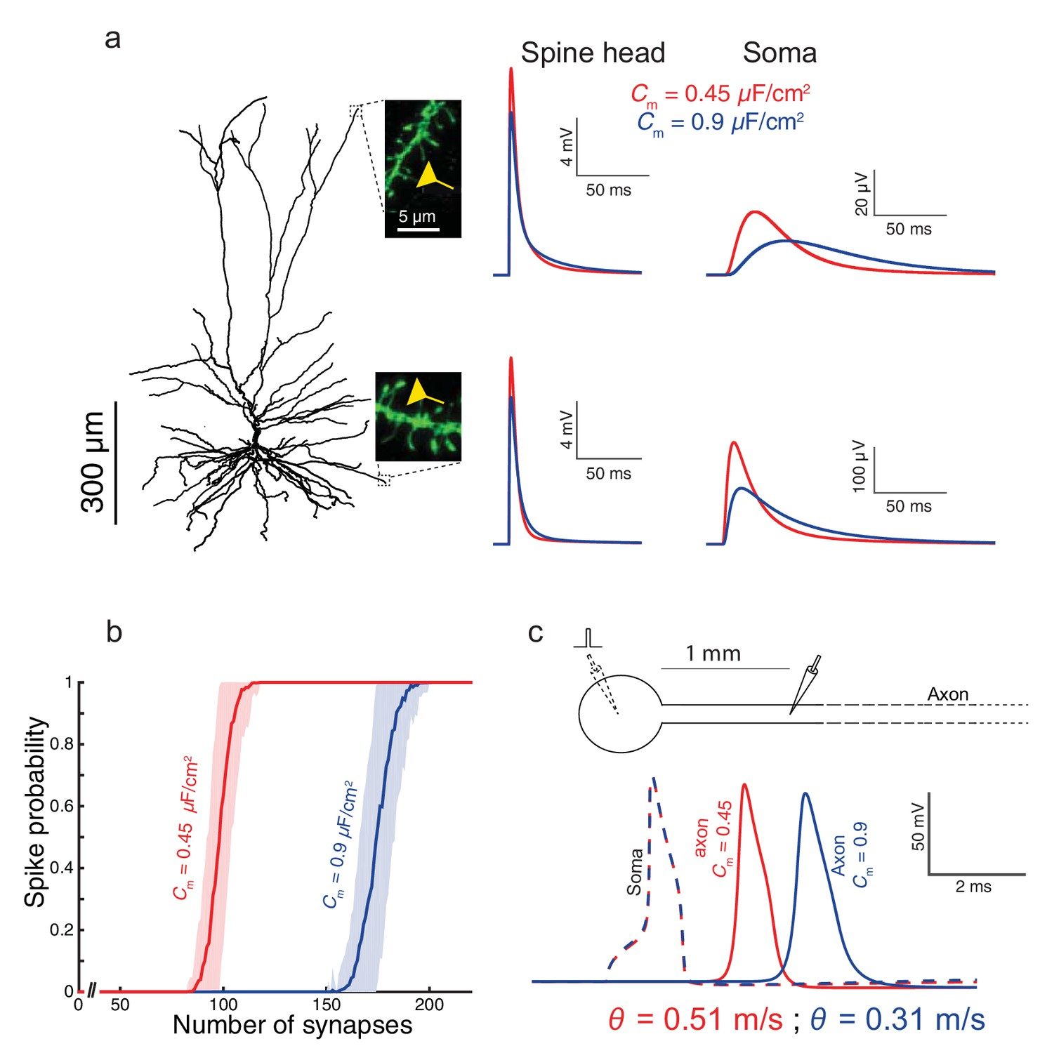 Unique Membrane Properties And Enhanced Signal Processing In Human Cell Diagram Parts Pictures Structure Functions Functional Implications Of The Low Cm Value L2 3 Cortical Neurons For