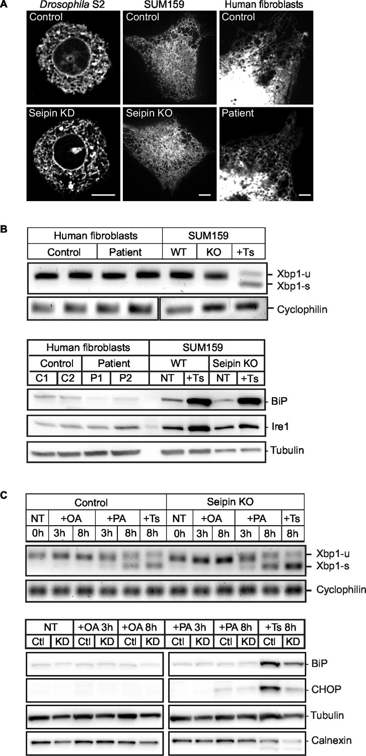 Seipin is required for converting nascent to mature lipid