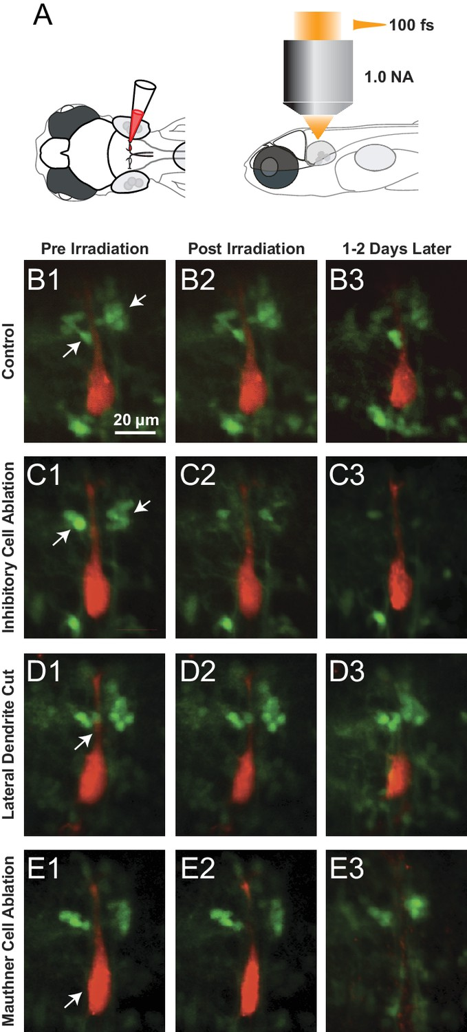 Figures and data in A circuit motif in the zebrafish hindbrain for a