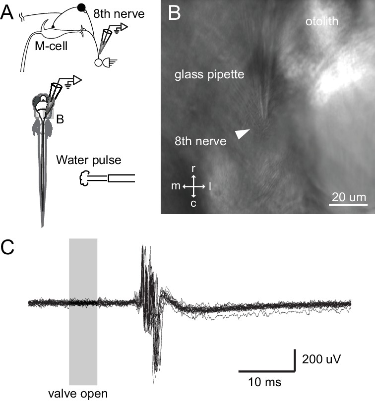 Figures and data in A circuit motif in the zebrafish hindbrain for a ...