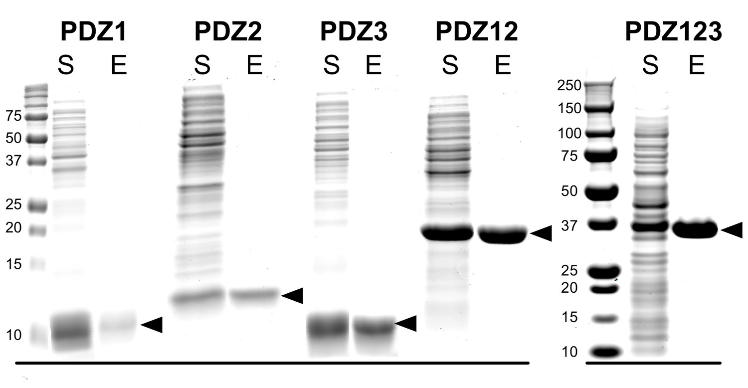 A Model For Regulation By Syngap 1 Of Binding Synaptic Proteins Kk Board Wiring Diagram Purification Recombinant Pdz Domains Psd 95