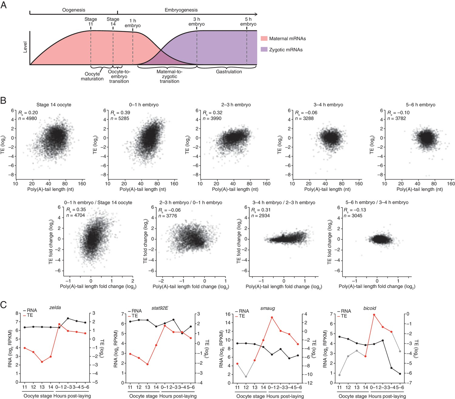mRNA poly(A)-tail changes specified by deadenylation broadly