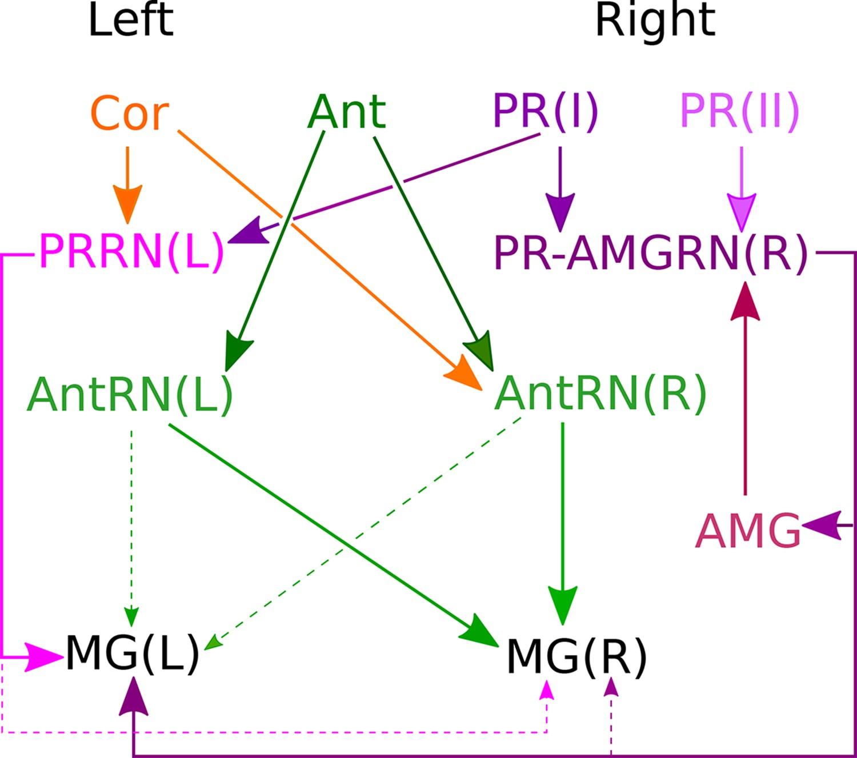 The CNS connectome of a tadpole larva of Ciona intestinalis ... Ac Wiring Diagram Cutl on