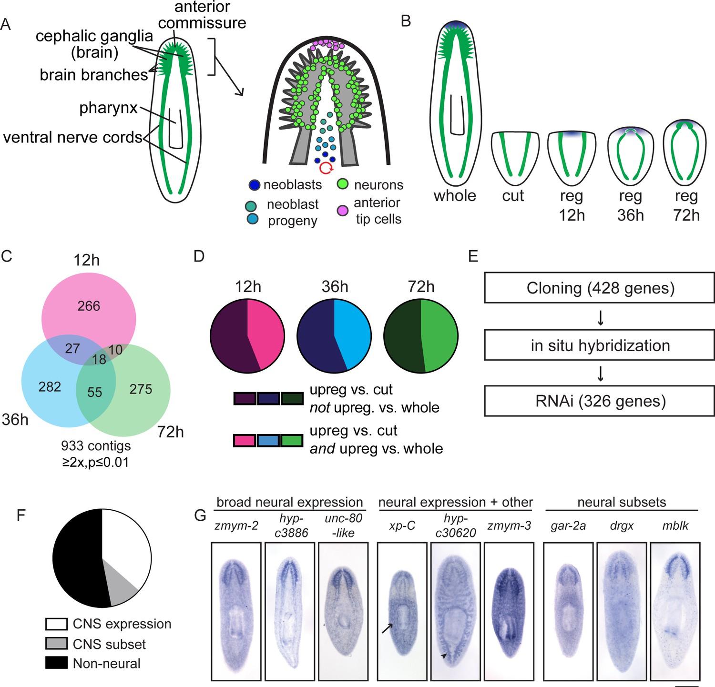 a transcriptional view of planarian head regeneration