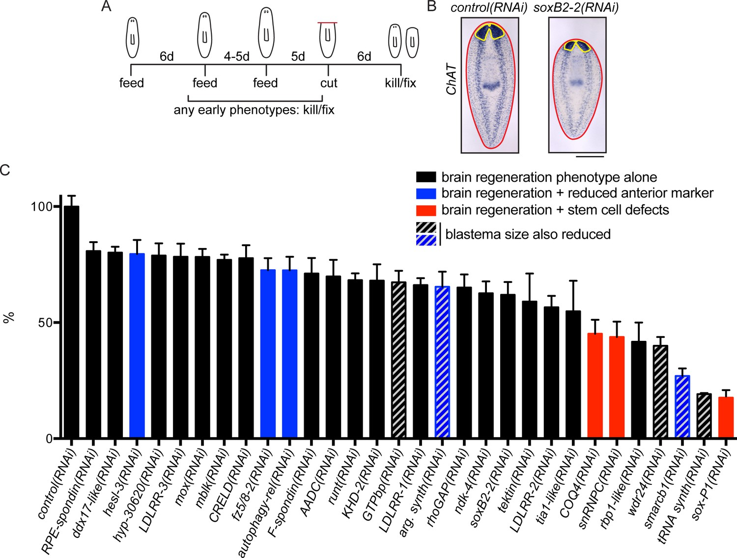 A Functional Genomics Screen In Planarians Reveals Regulators Of 1999 Western Star Wiring Diagram For Genes Required Regeneration The Planarian Brain