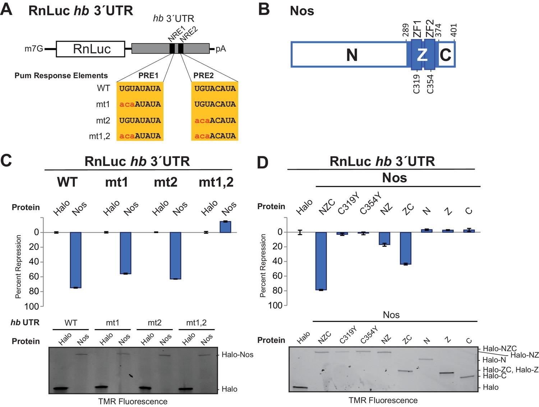 Drosophila Nanos acts as a molecular clamp that modulates the RNA