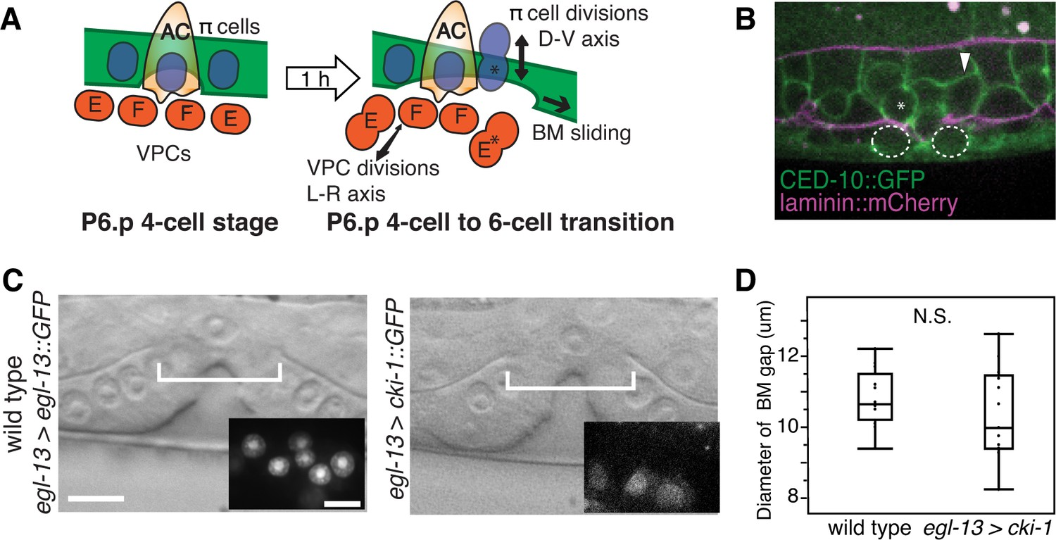 Boundary Cells Restrict Dystroglycan Trafficking To Control Basement Basic Animal Cell Diagram With Labels 13 Division Does Not Regulate Bm Sliding
