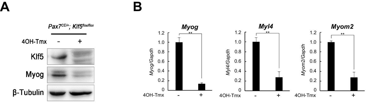 Klf5 regulates muscle differentiation by directly targeting